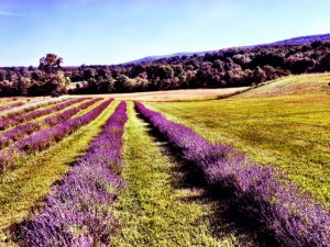 The Lavender Fields of Springfield Manor Winery