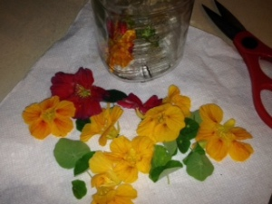 Beautiful Nasturtium getting ready to be submerged in Vodka
