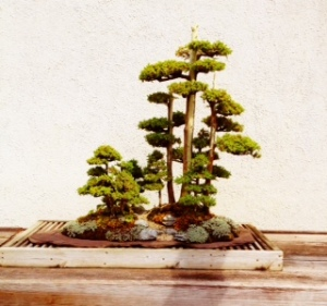 One of my favorites in the Bonsai Collection